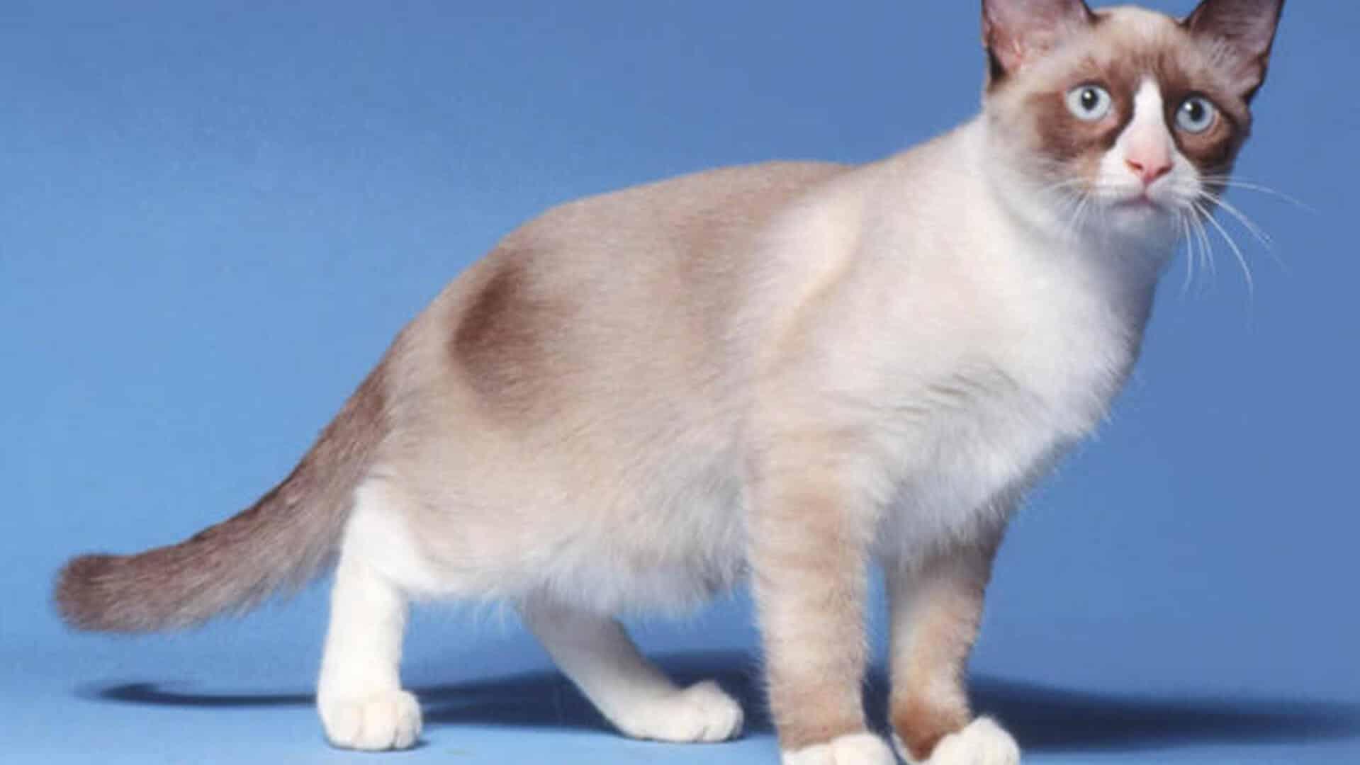 Snowshoe : Prix de ce chat, Comportement & Caractère, Santé