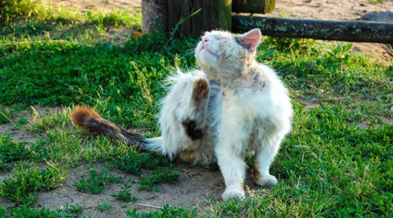teigne chat et chien