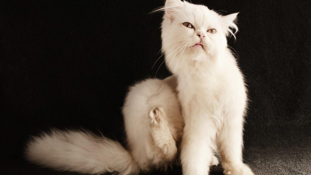 teigne chez le chat
