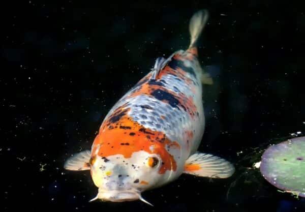 Carpe japonaise : prix de ce poisson, santé & comportement