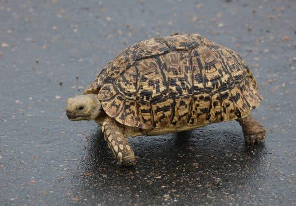 Tortue Léopard : prix de cette tortue, santé & comportement