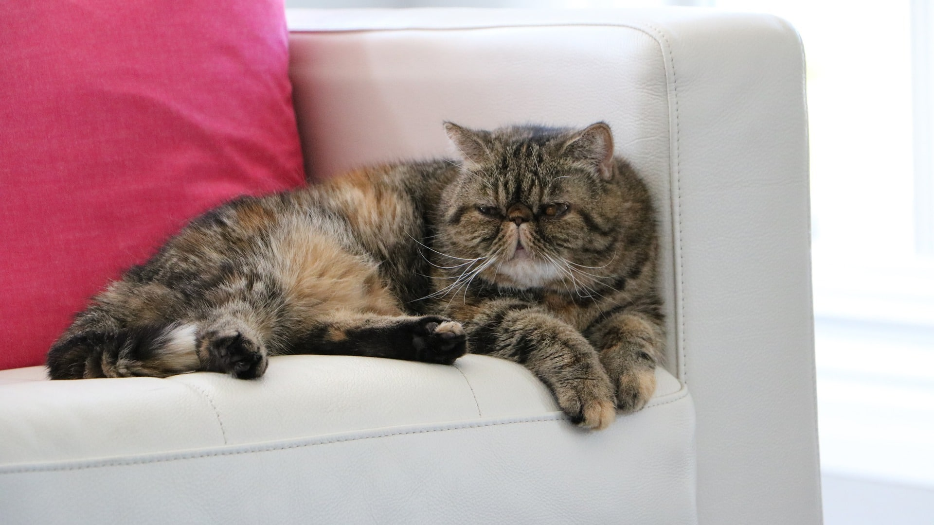 adopter exotic shorthair