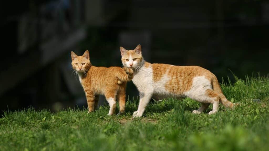 chat mâle et femelle avantages
