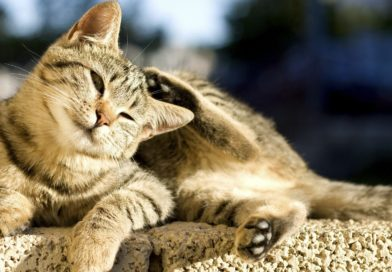 dermatite du chat