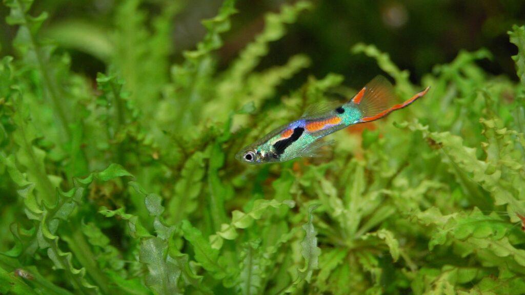 guppy poisson d'aquarium