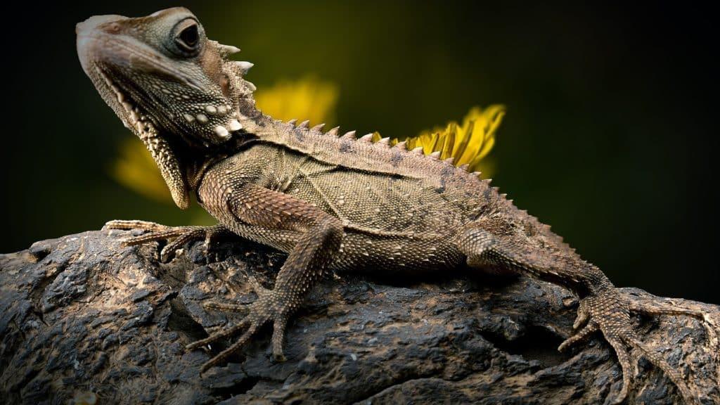 lézard reptile domestique