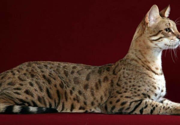 Chat Ashera : Prix de ce chat, Comportement & Caractère, Santé