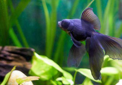 poisson d'aquarium en eau froide