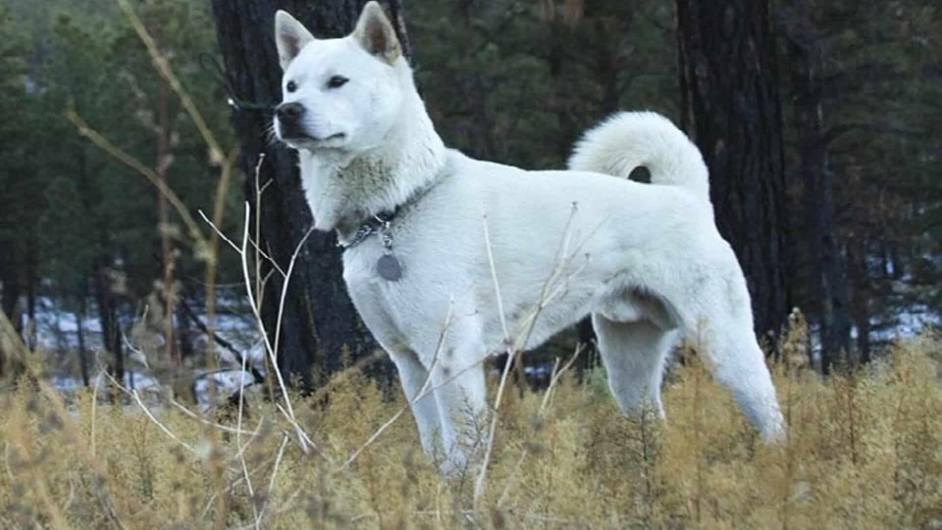 Kishu : Prix de ce chien, Caractère, Santé, Alimentation