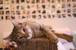 poids de forme idéal du chat