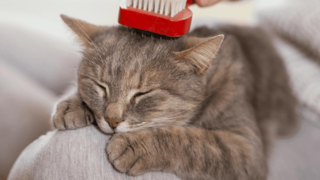traiter la pelade du chat