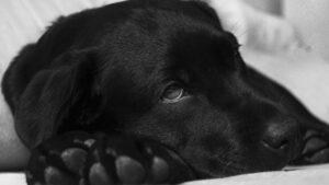 maladie d'addison chez le chien