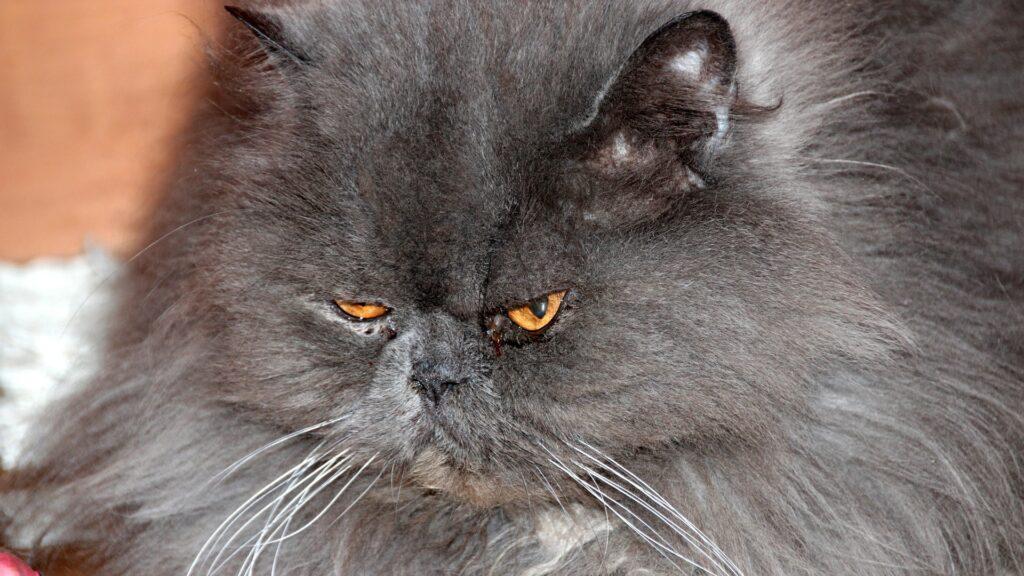 mon chat a un œil qui coule