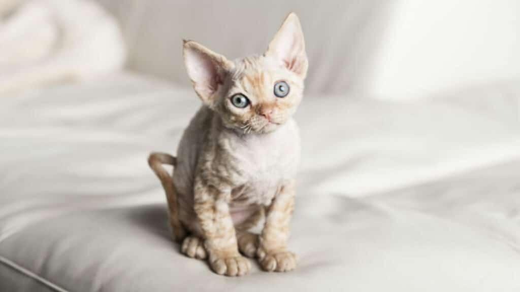 petit chat Devon rex