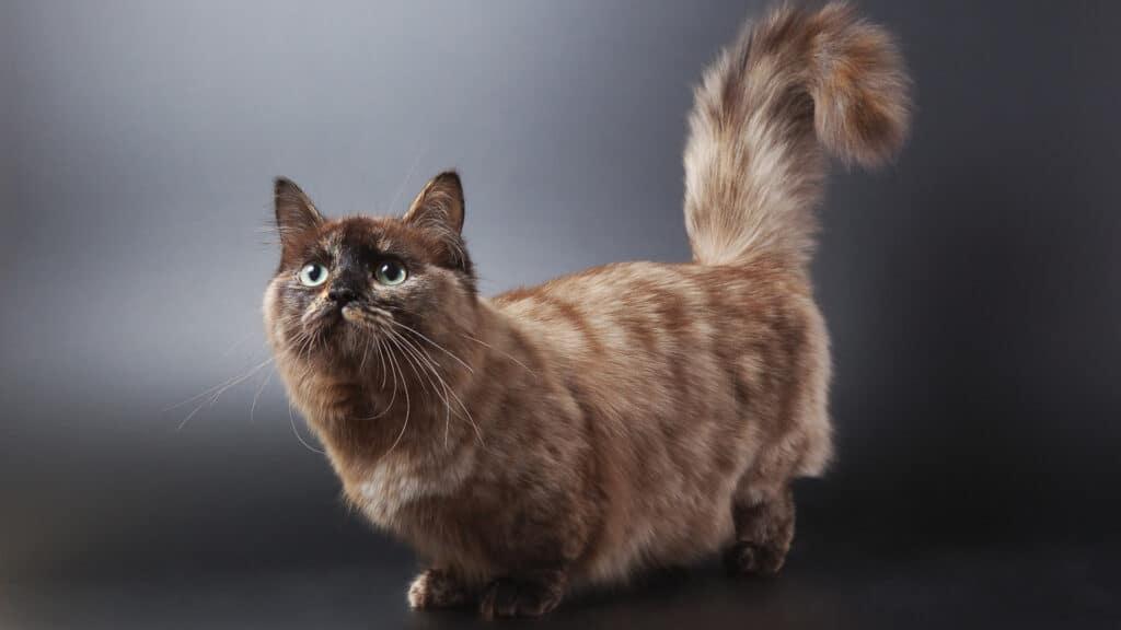 petit chat Munchkin