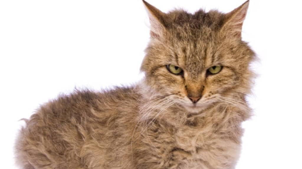 petit chat Skookum