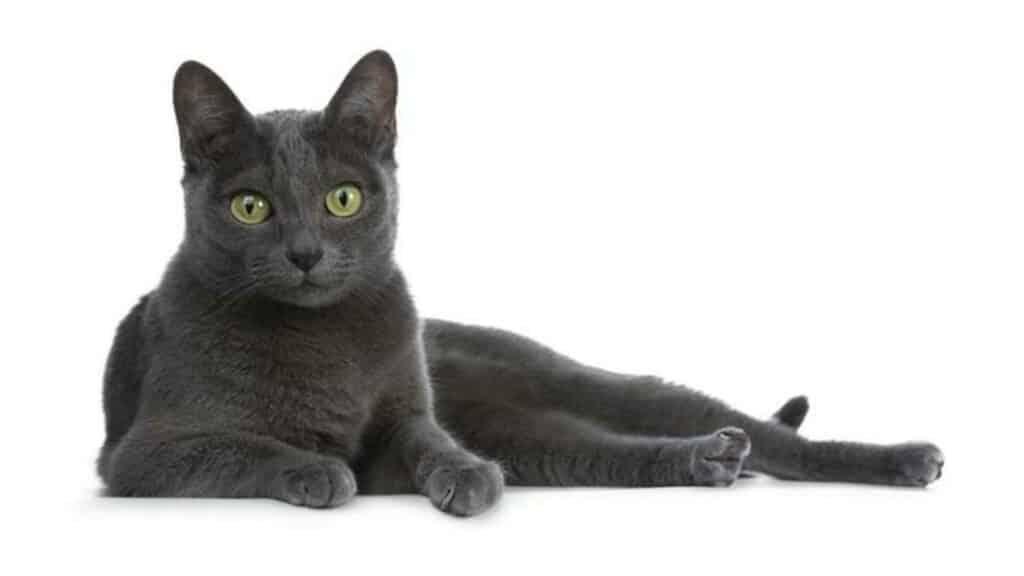petit chat korat