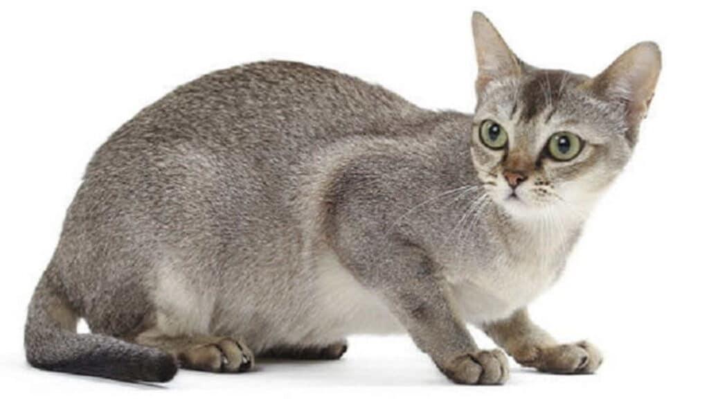 petit chat singapura