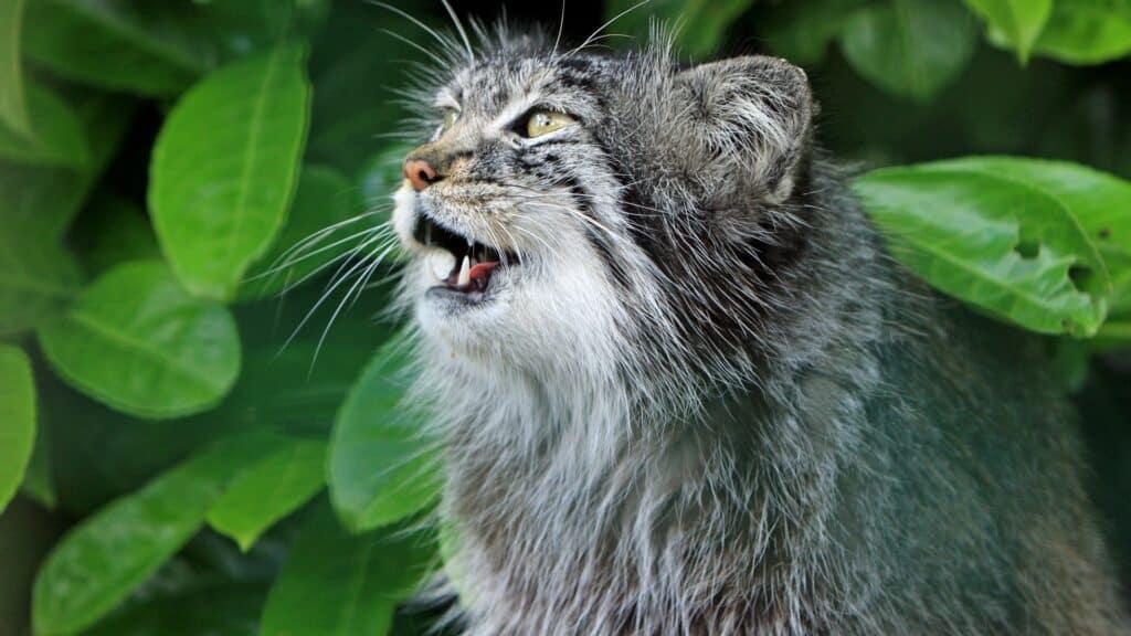 pourquoi un chat miaule