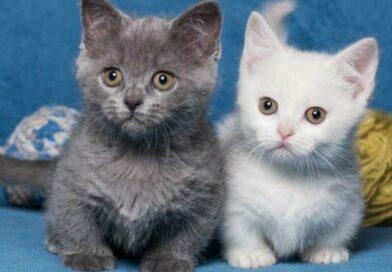top des races de petit chat