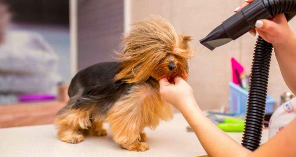 utilisation pulseur pour chien