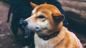 Collier de dressage chien