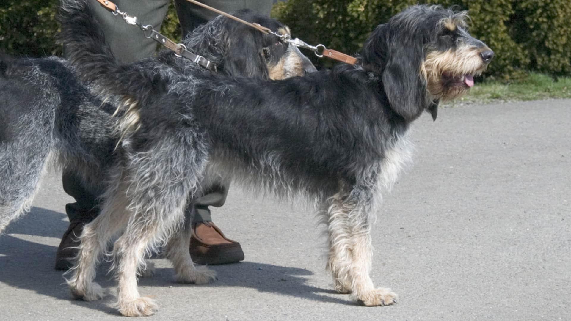 chien Griffon bleu de Gascogne