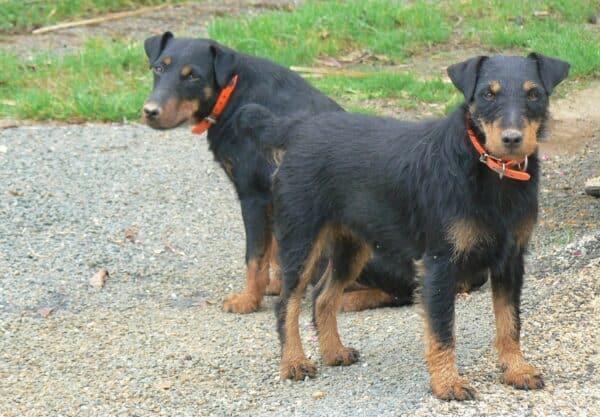 chien Jagd terrier