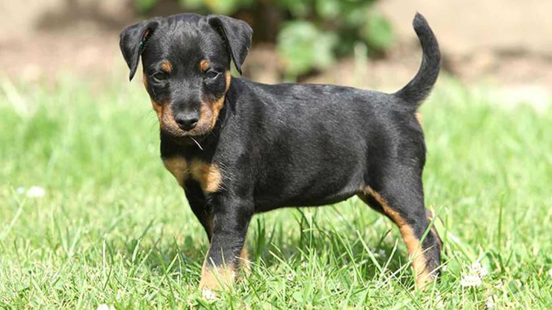 chiot Jagd terrier