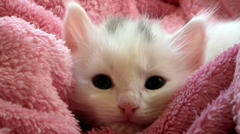 comment adopter un chaton