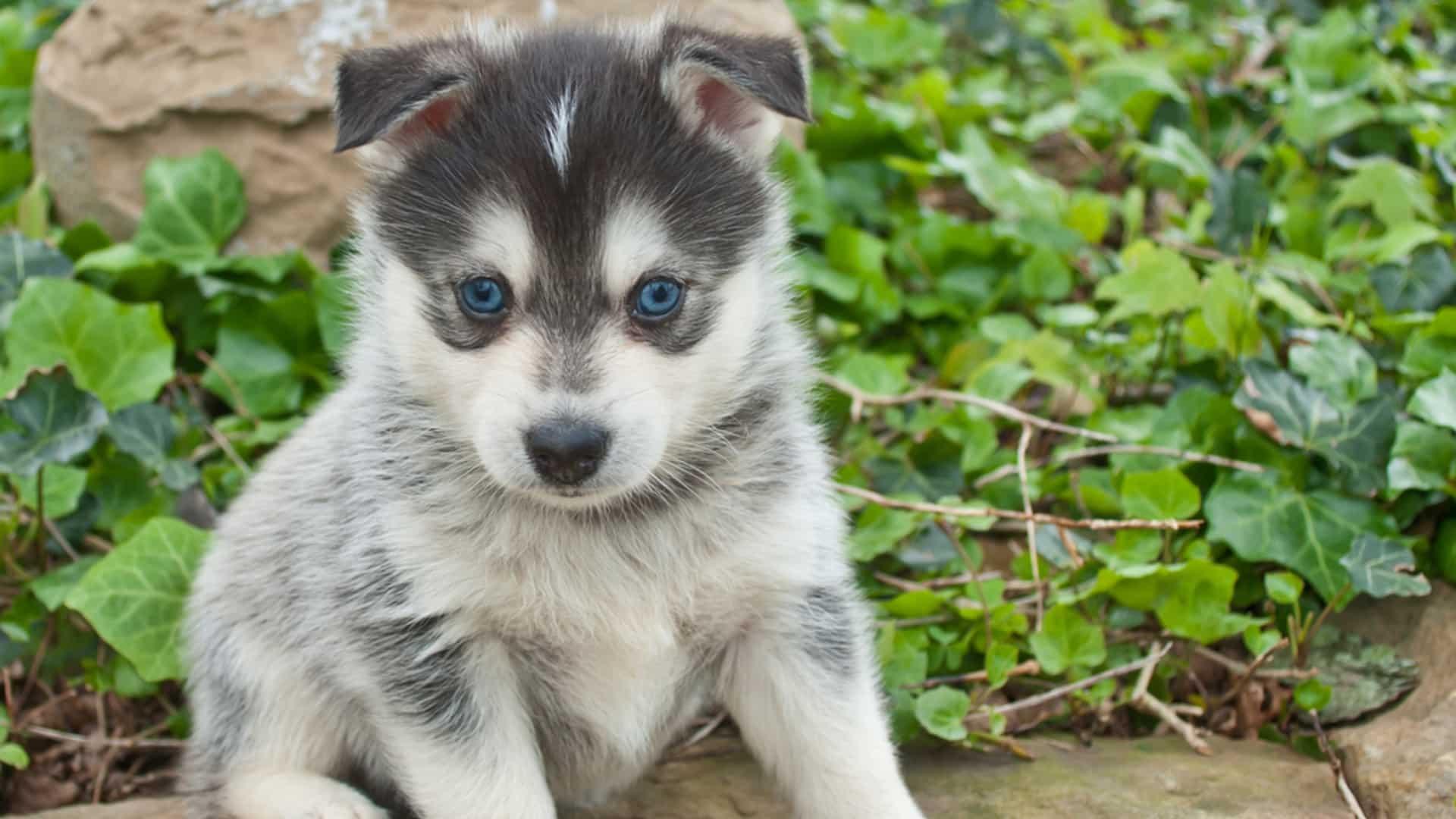 Pomsky : Prix de ce chien, Caractère, Santé, Alimentation