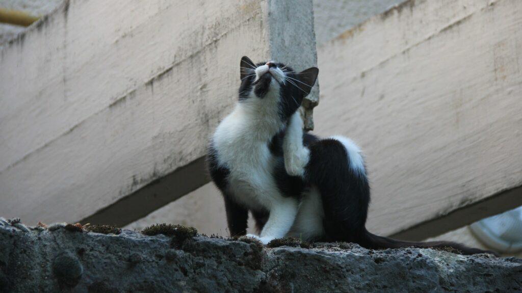 gale du chat