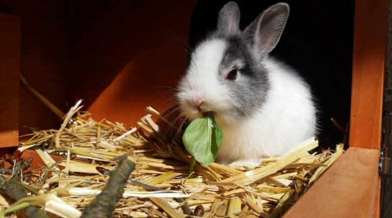que mange lapin nain