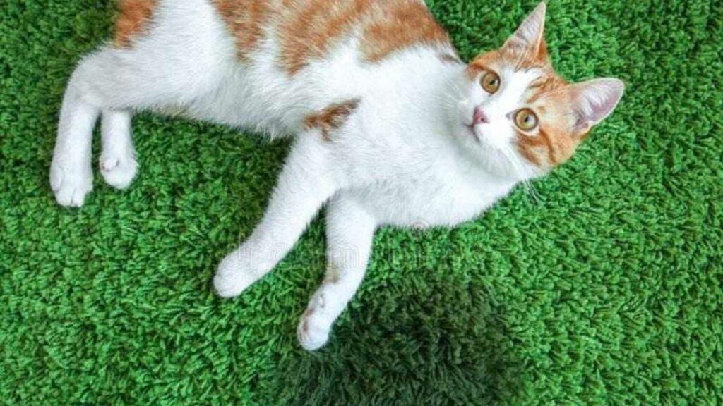 traiter un chat incontinent