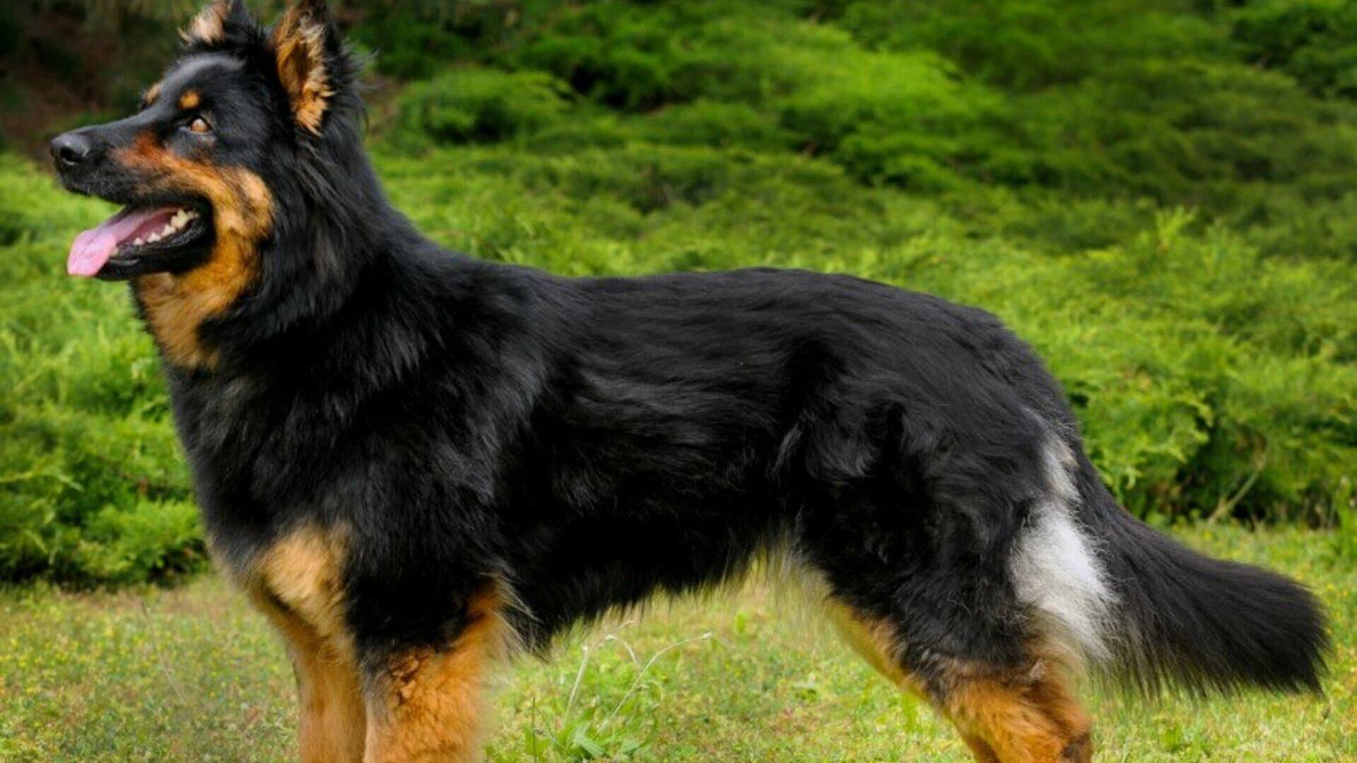 Berger de Bohême : Prix de ce chien, Caractère, Santé, Alimentation
