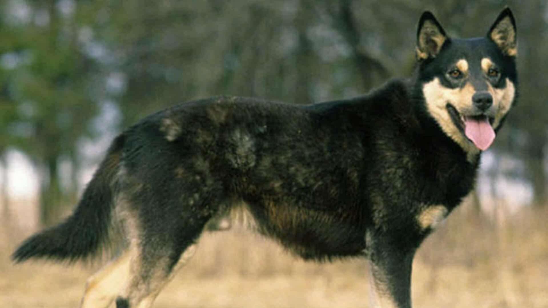 Berger Finnois de Laponie : Prix de ce chien, Caractère, Santé, Alimentation