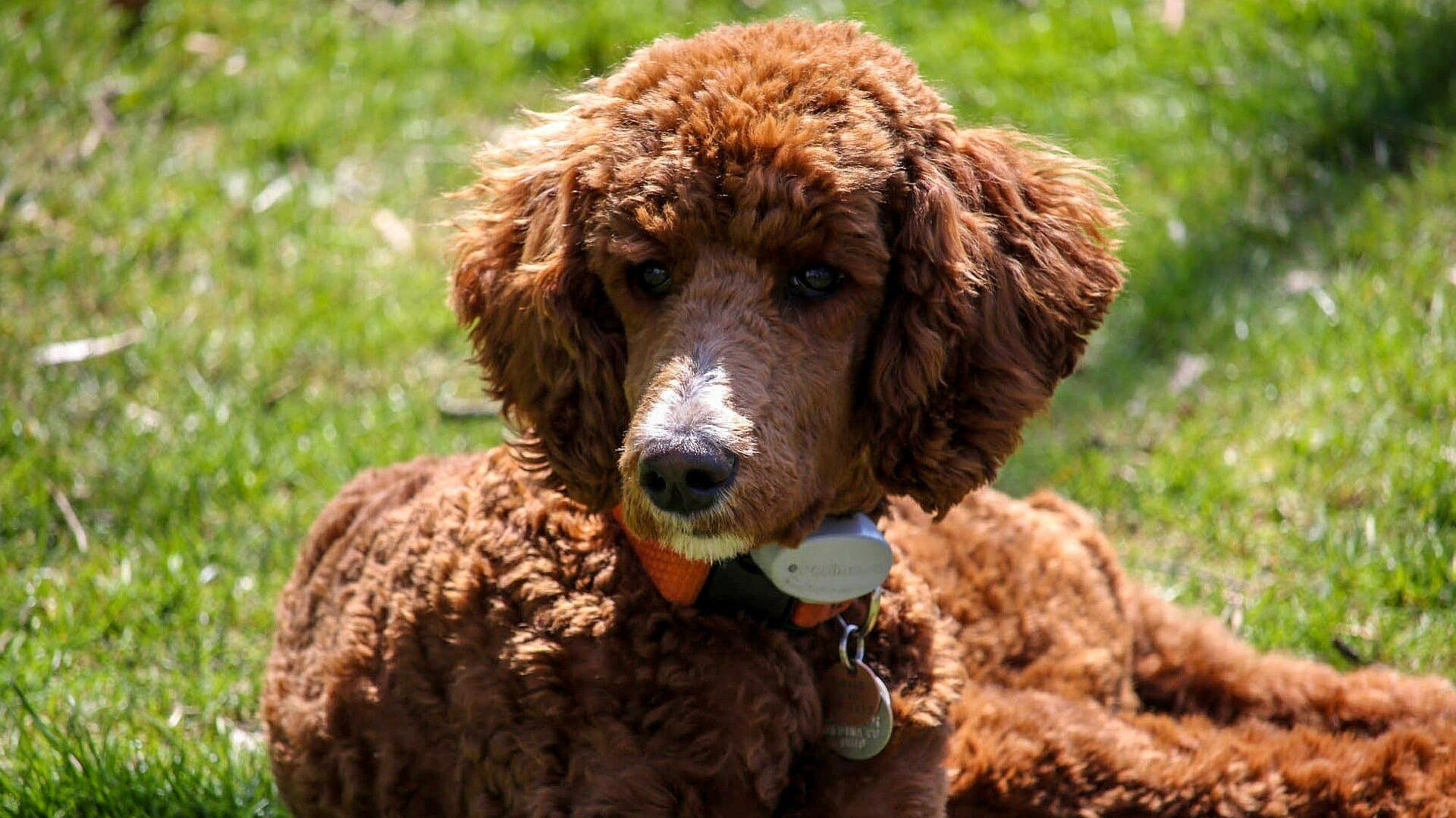 Caniche Royal : Prix de ce chien, Caractère, Santé, Alimentation