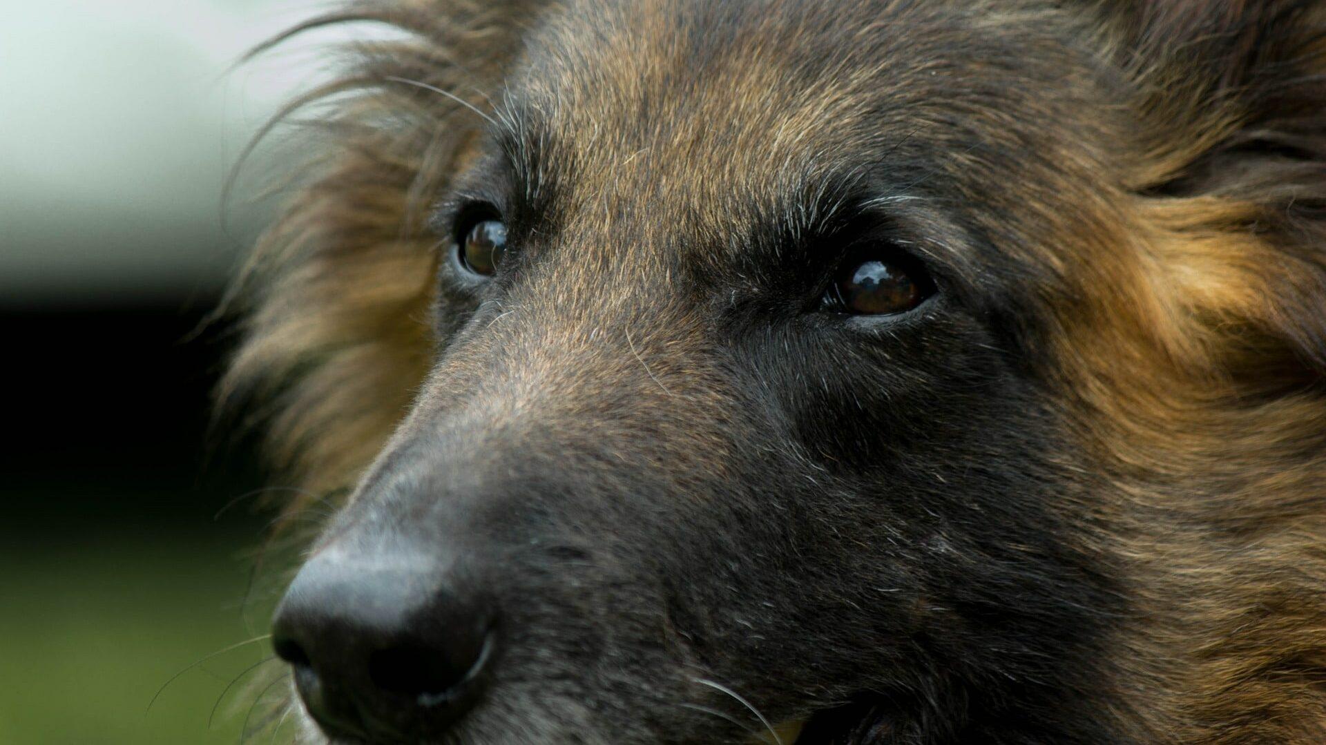 Tervueren : Prix de ce chien, Caractère, Santé, Alimentation