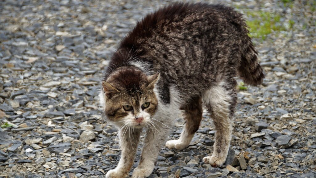 chat qui grogne et agressif