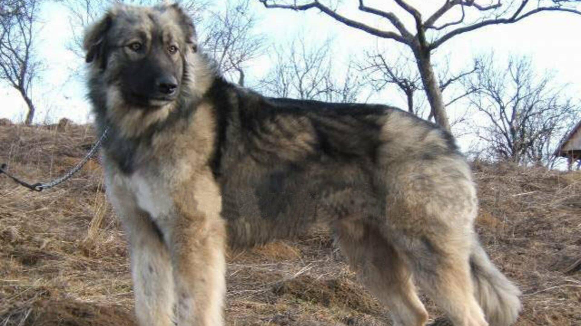 chien Berger des Carpates