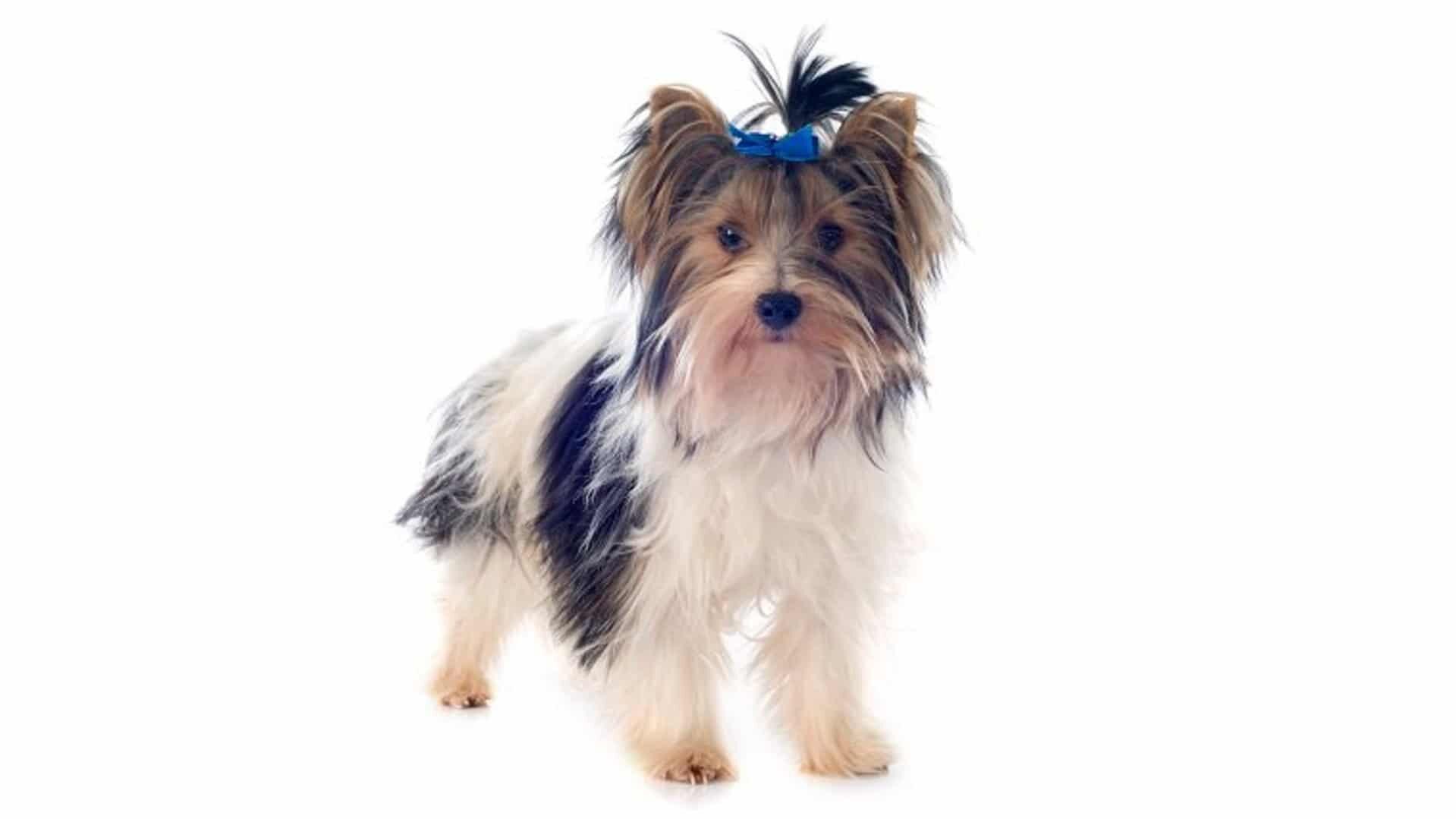 chien Biewer Terrier