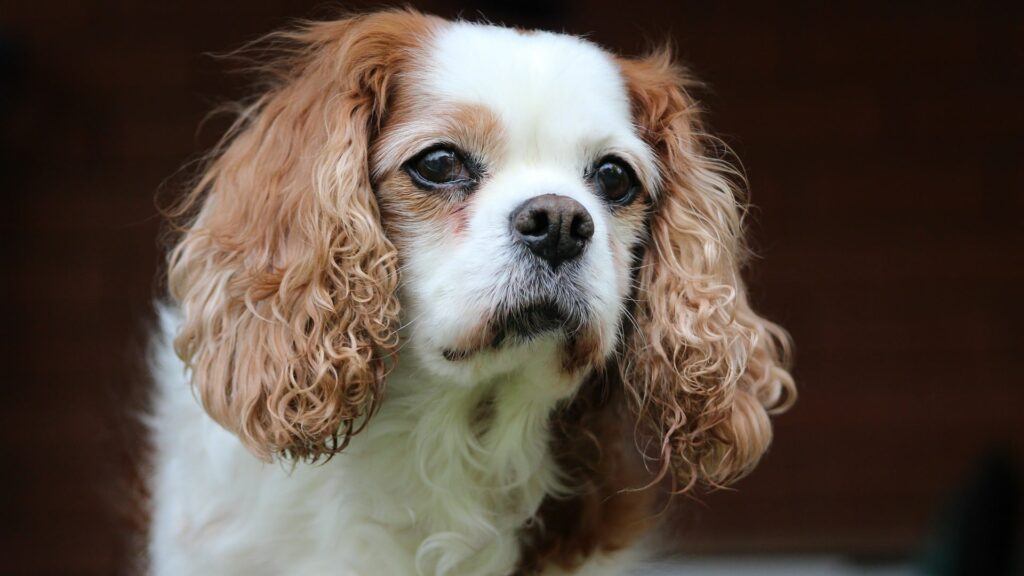 chien Cavalier King-charles