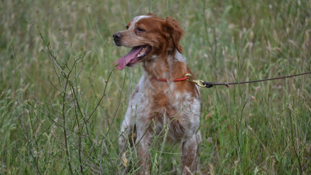 chien Épagneul breton
