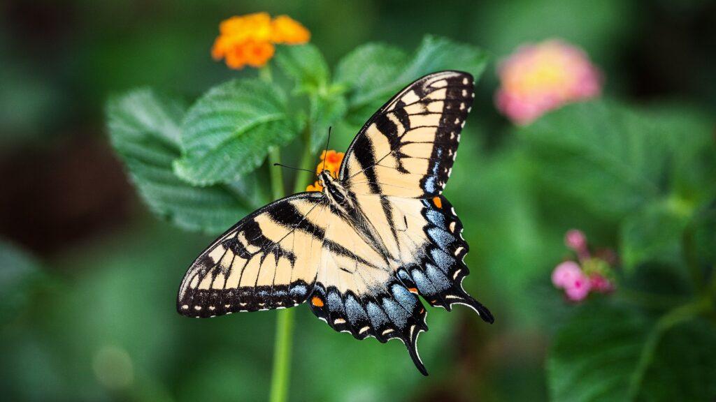 écailles papillons