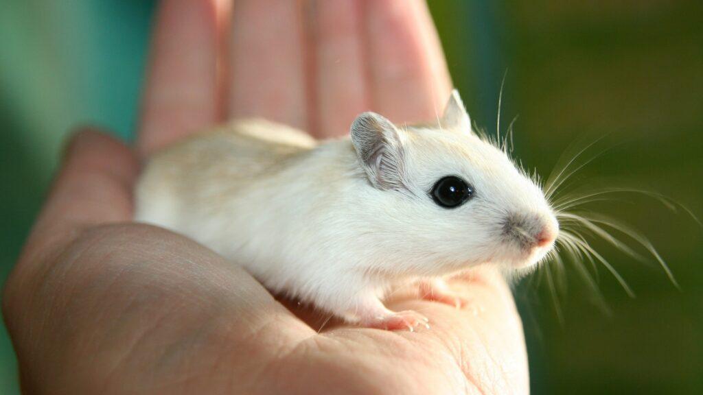 faits insolites sur les souris