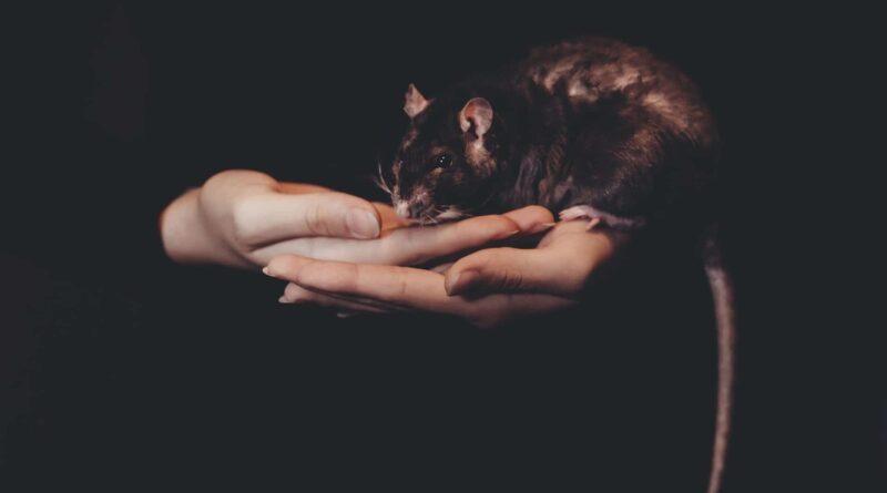 s'occuper d'un rat domestique