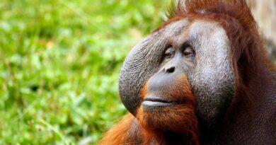 Tout connaître sur l'orang-outan