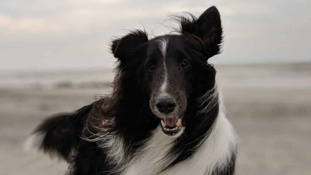 Berger de Shetland