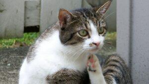 Eczéma chat