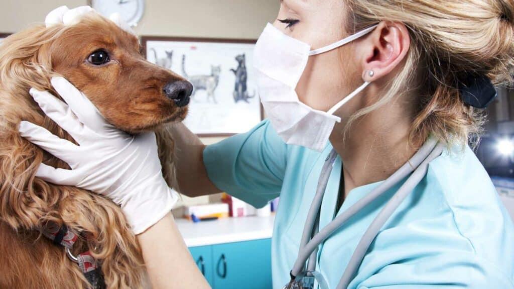 harpagophytum pour chien